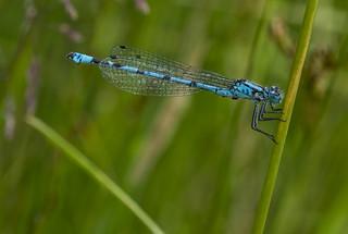 commojn blue damselfly 381  (3)