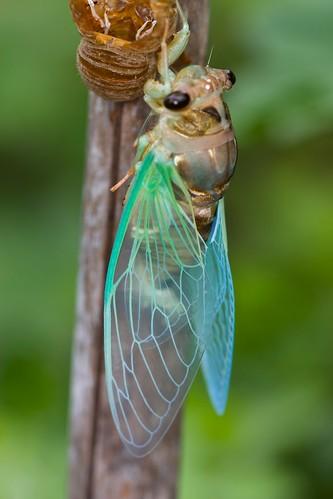 Walker's cicada (Tibicen pronotalis)