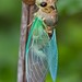 Walker's cicada (Tibicen pronotalis) by bbum