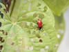 Lilioceris cheni, air potato leaf beetle