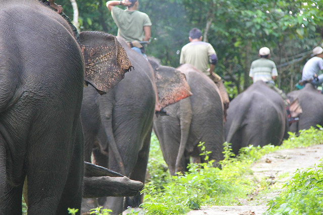 Elephants, Tangkahan, Indonesia