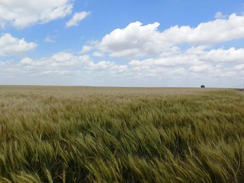 Green wheat near Chappell, NE on 7/4