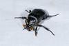 Black Burying Beetle (Nicrophorus nigrita) (2) by Donna Pomeroy