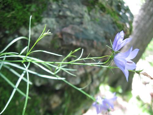 Harebell (Campanula rotundifolia), Blue Mound State Park, 7/4/14