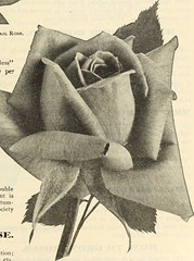 """Image from page 176 of """"Dreer's garden book 1915"""" (1915)"""