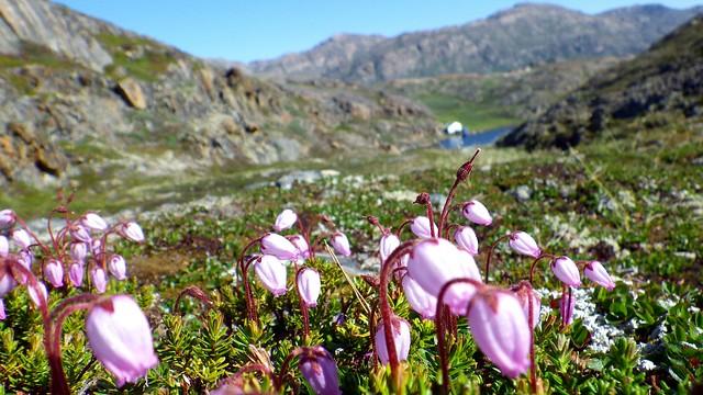 Flores silvestres en verano, Sisimiut, Oeste de Groenlandia.