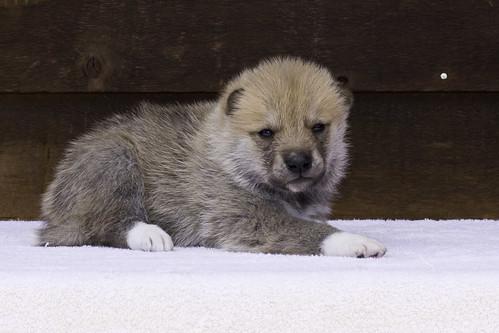 Anya-Litter1-20Days-Puppy6(Male)d
