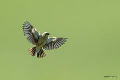 06灰頭椋鳥
