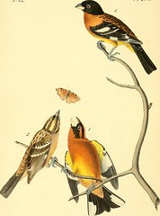 """Image from page 352 of """"The birds of America : from drawings made in the United States and their territories"""" (1840)"""