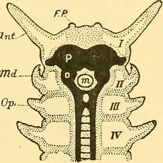 """Image from page 568 of """"Quarterly journal of microscopical science"""" (1853)"""
