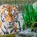 Tiger by Mathias Appel