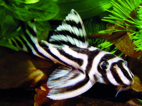 Peixe zebra