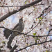 Hanami Bird 🌸(•ө•)🌸 by S♡C