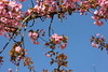 Girlande aus Kirschblüten
