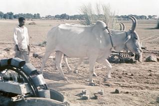 Found Photo - India Unknown Farm with Oxen.tif