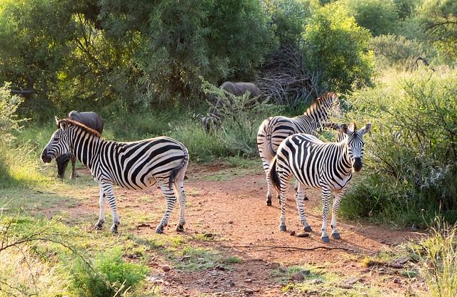 Zebras in Pilanesberg, South Africa.