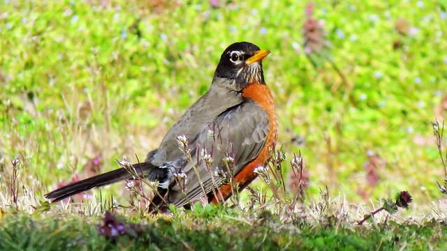 Male Robin