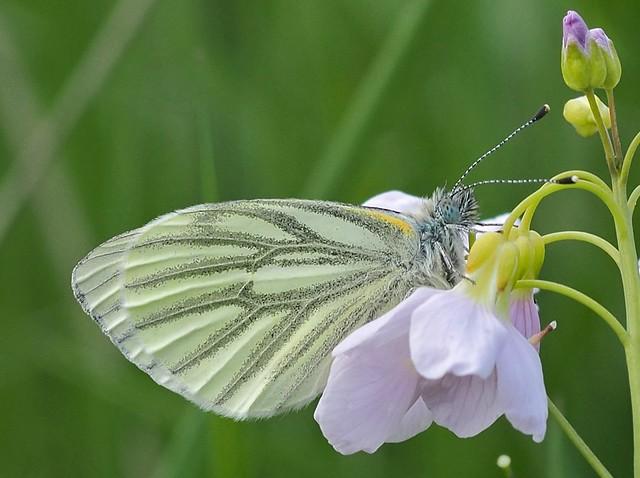 Green-veined white | Klein geaderd witje