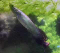Memphis Zoo 08-31-2016 - Fish 1