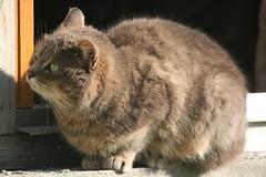 barn cat - Photo of Husson