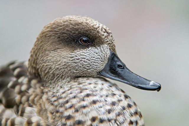 Closeup of a gray duck
