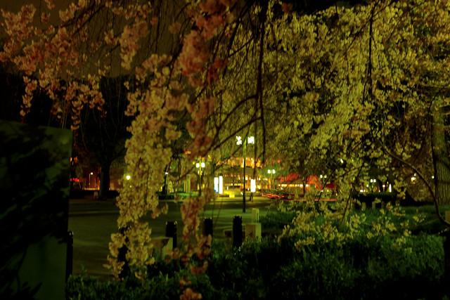 京都の桜−02