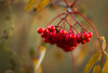 Autumn rowanberries by Indigo_Flow