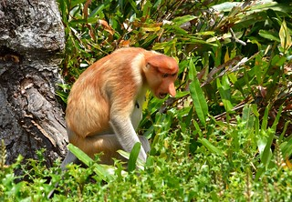 """One of my moody days!"" ......Angry, honking Proboscis Monkey at Labuk Bay, near Sandakan, Borneo."