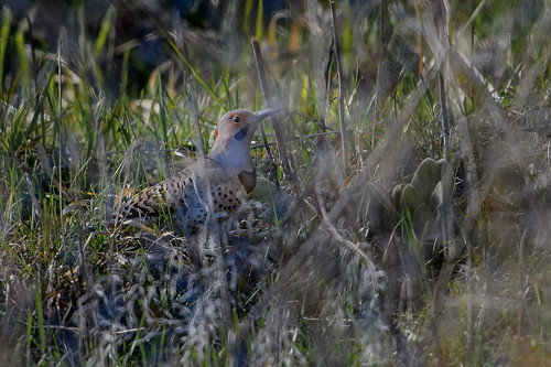 Northern Flicker_48042.jpg