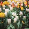 Tulips, you have to admire the colors and beauty☺️ by drebel66