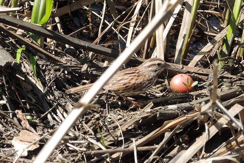 #60 Song Sparrow (Melospiza melodia)