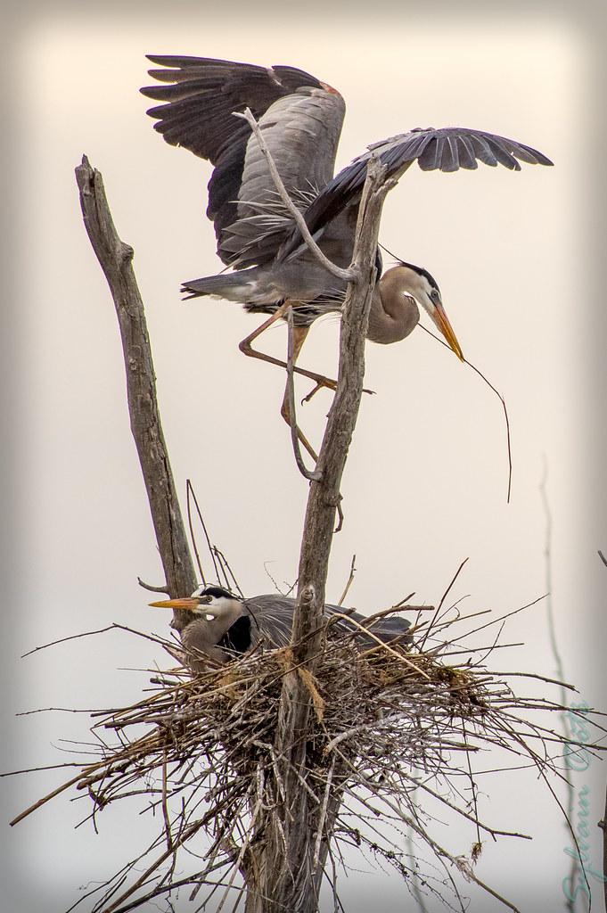 Grand hérons dans leur nid... 14042351241_6c6861ee18_b