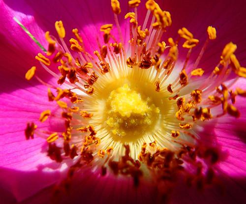 Wild Rose Macro