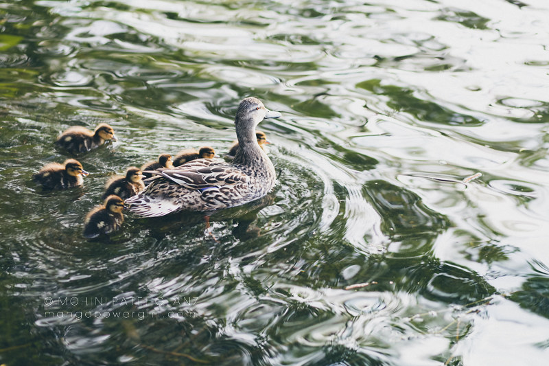 baby ducks huddling with mama duck