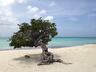 Eagle Beach の画像. sea tree beach sand aruba caribbean divi caribe dividivi