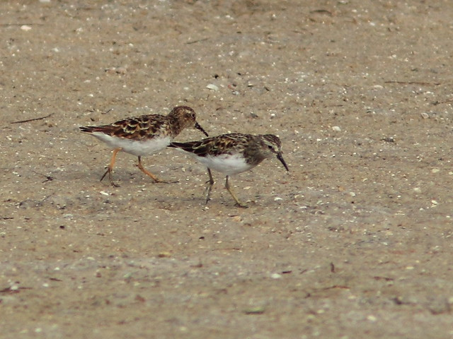 Least Sandpipers 20140422