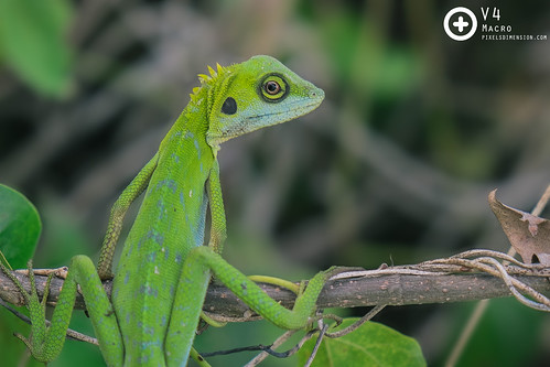 Green Crested Lizard 2- Bronchocela cristatella