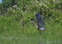 Heron taking off, Steelman Lake Sauvie Island