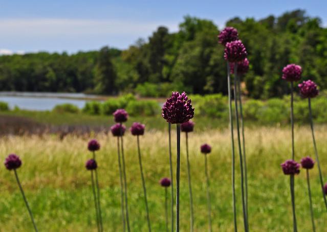 Allium ampeloprasum (11)