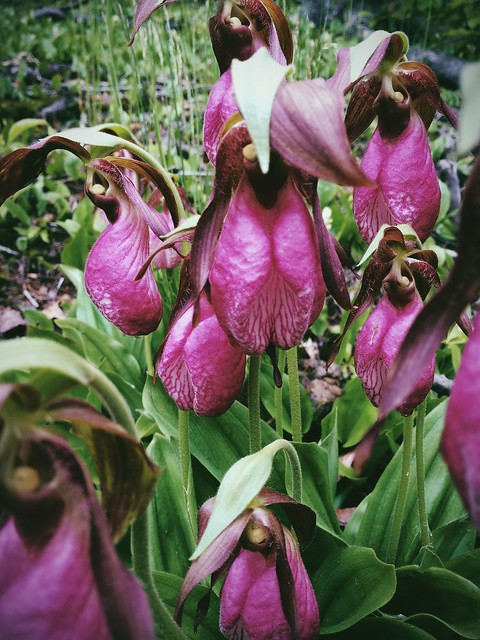 7 June 2014 - Lady's Slippers