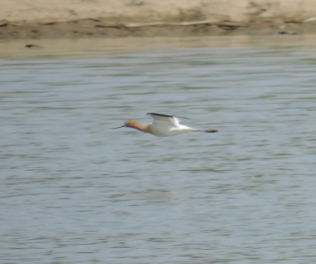American Avocet in flight