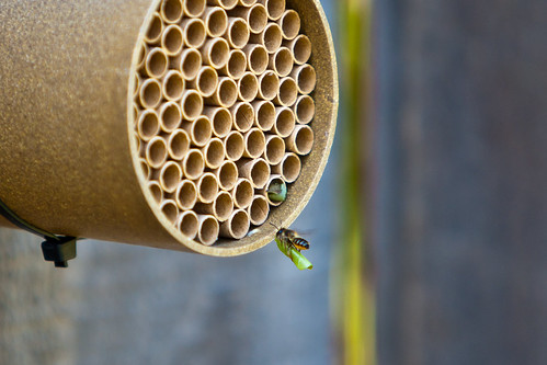 Leaf Cutter Bee 1