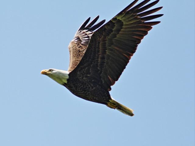 Bald Eagle Mooseheart 6-20140521