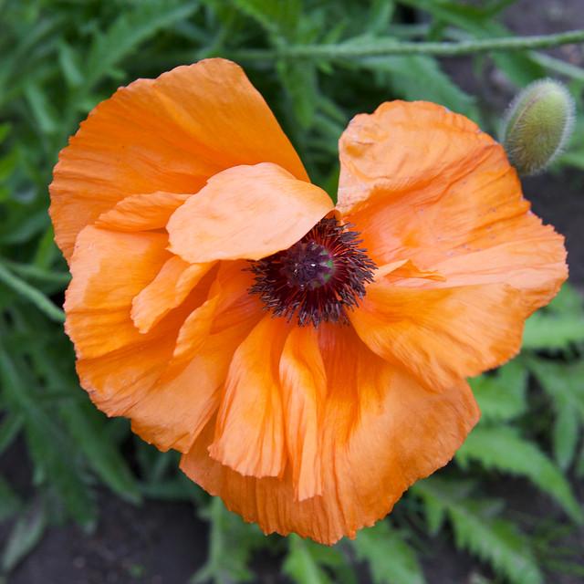 orange poppy. Botanic garden. Lviv, Ukraine