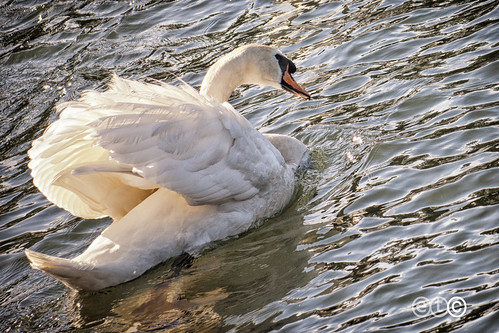 White Swan from Lake Como