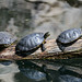 Turtles at National Zoo 2014.05.25 1.jpg