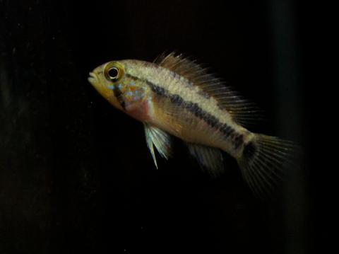 Ap.acrensis