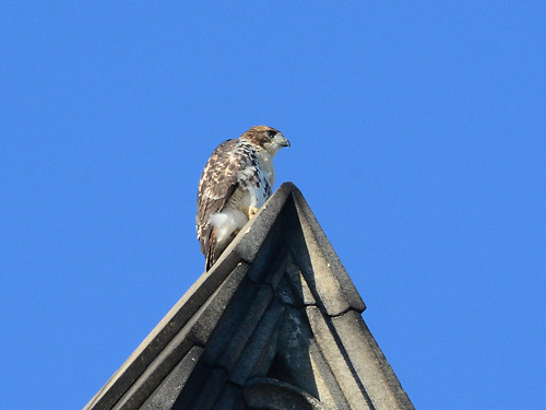 Cathedral Hawk Fledgling - 2935