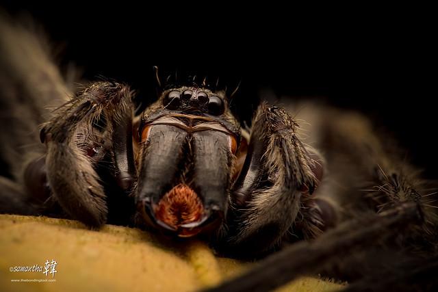 Macro-Huntsman Spider-4457