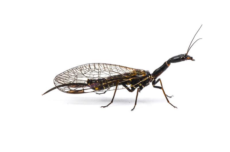 female snakefly